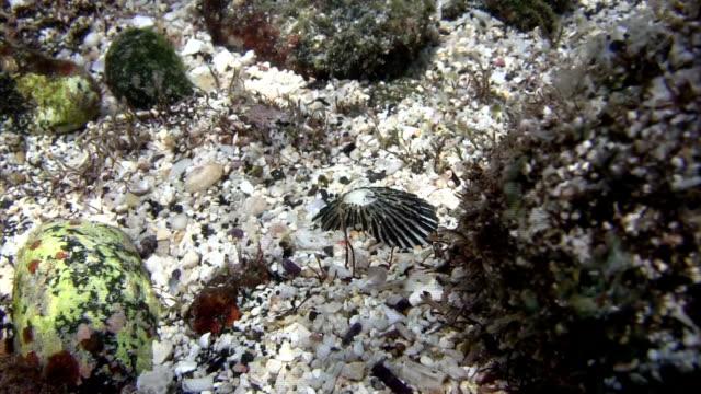 vídeos de stock e filmes b-roll de rótula (scutellastra) laticostata na praia havaiana - lapa
