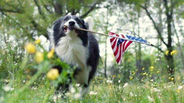 vidéos et rushes de chien de collie de frontière patriotique courant dehors à travers des fleurs tout en portant le drapeau américain. - patriotisme