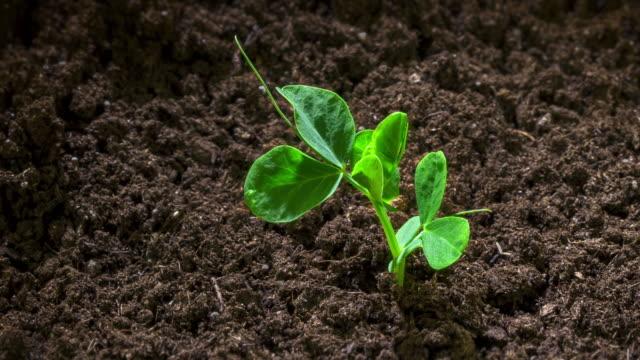ärtplantning som växer upp ur jorden, tiden förfaller - pea sprouts bildbanksvideor och videomaterial från bakom kulisserna