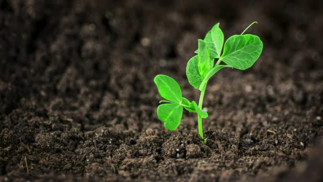 ärtplanta som växer ur jorden, tidsfördröjning - böngrodd bildbanksvideor och videomaterial från bakom kulisserna