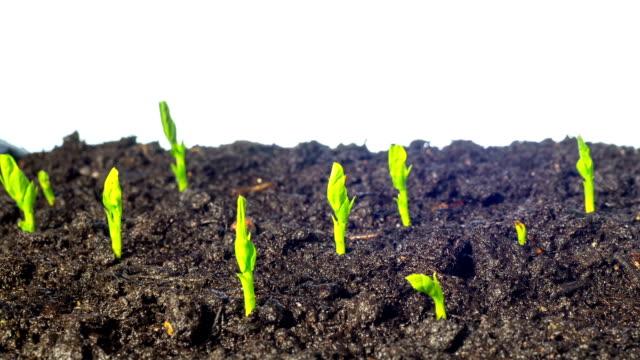 pea groddar växa, luta time-lapse - pea sprouts bildbanksvideor och videomaterial från bakom kulisserna