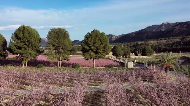 fiore di pesco a cieza la torre nella regione di murcia in spagna - albicocco video stock e b–roll