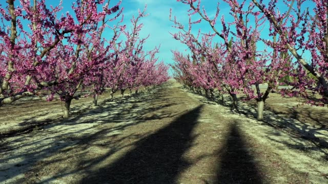 kwiat brzoskwini w ciezie, mirador el horno w regionie murcji w hiszpanii - brzoskwinia drzewo owocowe filmów i materiałów b-roll
