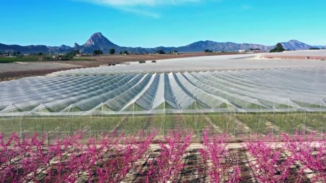 peach blossom in cieza, mirador el horno in the murcia region in spain - albicocco video stock e b–roll