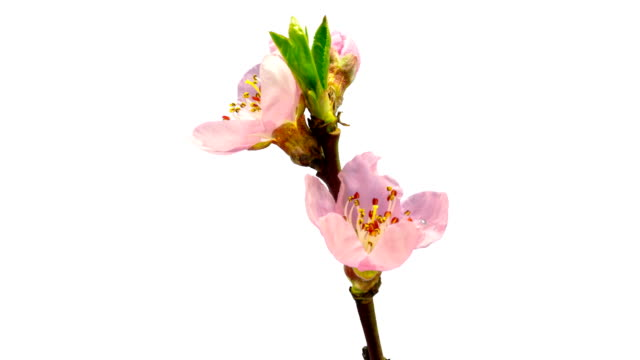 vídeos de stock e filmes b-roll de peach flower blooming against chroma key background in a 4k time lapse movie. prunus persica growing in moving time lapse. alpha channel included - flower white background