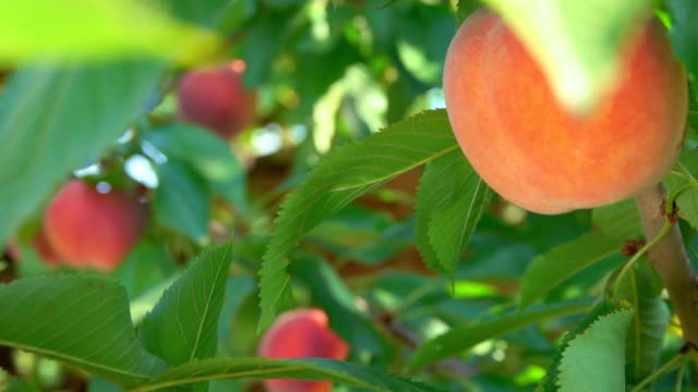 Peach hanging on a tree branch Juicy peach hanging on a tree branch peach stock videos & royalty-free footage