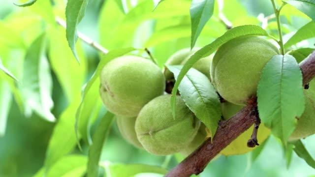 peach on a branch - pesche bambino video stock e b–roll