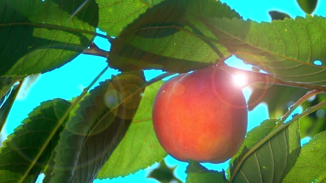 Peach on a tree branch in the sun light Ripe peach on a tree branch in the sun light peach stock videos & royalty-free footage