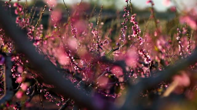Peach tree on flower video