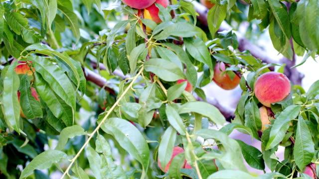 pfirsichbaum - peach stock-videos und b-roll-filmmaterial