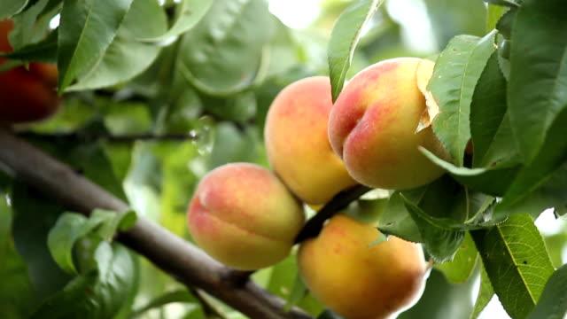 brzoskwinia. - brzoskwinia drzewo owocowe filmów i materiałów b-roll