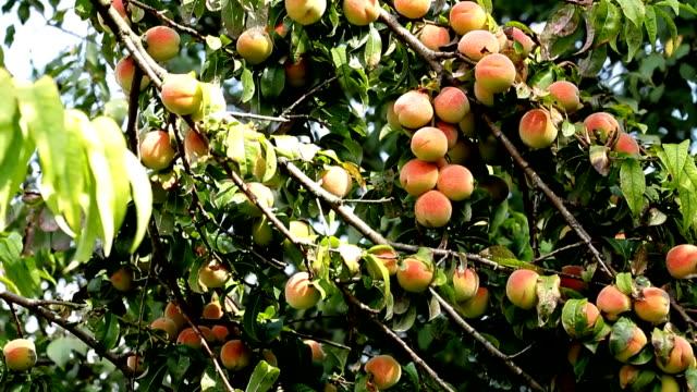 brzoskwinie na drzewo gałąź - brzoskwinia drzewo owocowe filmów i materiałów b-roll