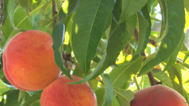 Peaches on tree Colorful juicy ripe peaches are ready to pick, fresh of the tree. peach stock videos & royalty-free footage