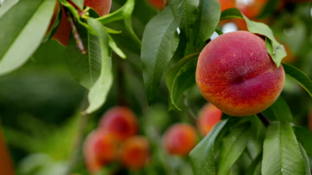 Peaches tree, natural ecological cultivation. video