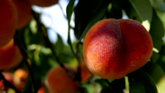Peaches tree Peaches tree, natural ecological cultivation. Macro shot. peach stock videos & royalty-free footage