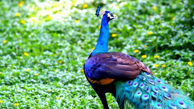 павлин красота в природе - peacock стоковые видео и кадры b-roll