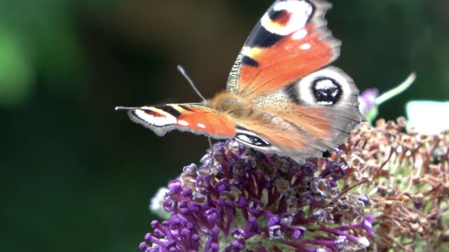 Peacock butterfly eye, scientific Aglais io, on the almost faded umbel of a butterfly bush, scientific Buddleja davidii