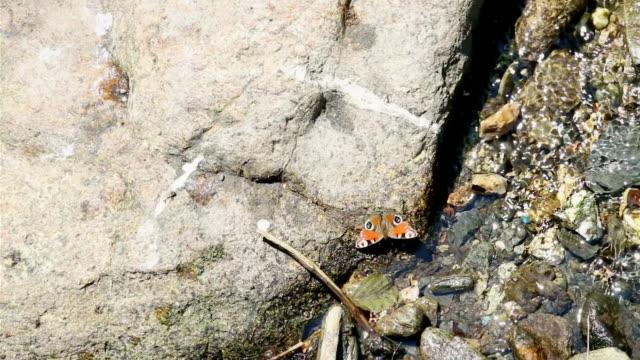 peacock butterfly on stone among water stream - io księżyc filmów i materiałów b-roll