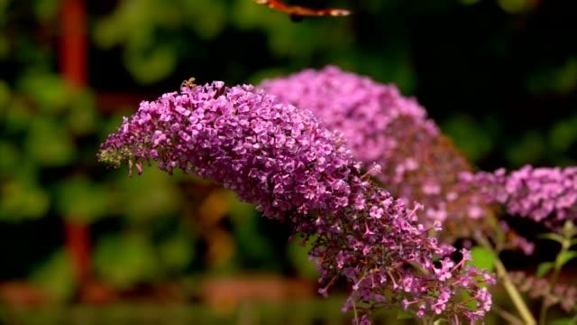 farfalla pavone si siede su un fiore buddleja rosa - armonia video stock e b–roll