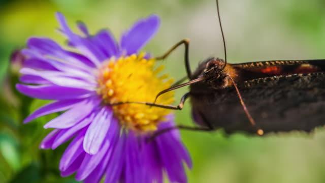 påfågel fjäril - pollinering bildbanksvideor och videomaterial från bakom kulisserna