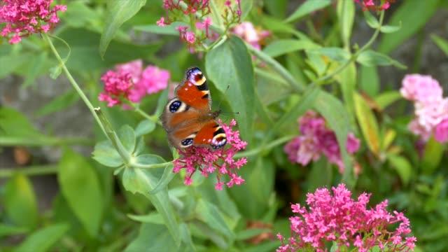peacock butterfly - io księżyc filmów i materiałów b-roll