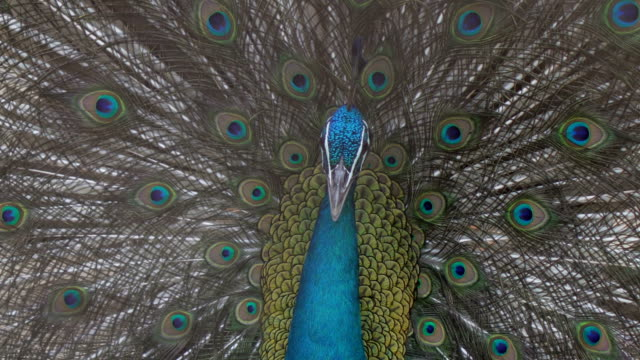 peacock closeup video