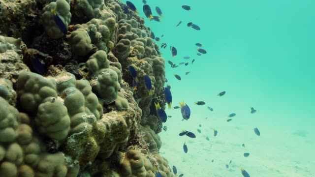 Peacock Damselfish in the Pacific Ocean. Underwater life with beautiful blue and yellow fish in the ocean. Tropical fish near coral reef. Diving in the clear water.