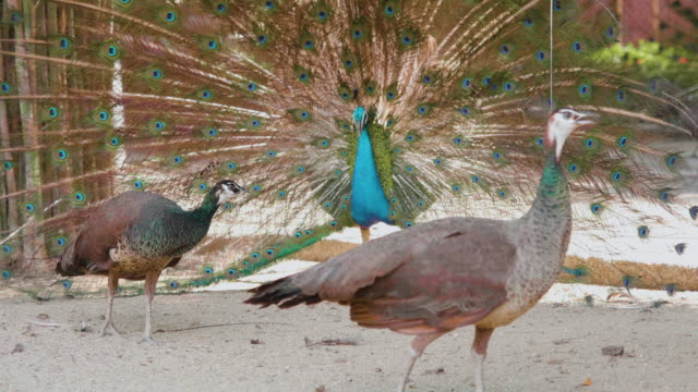 peacock dancing and displaying his plumage. - peacock filmów i materiałów b-roll
