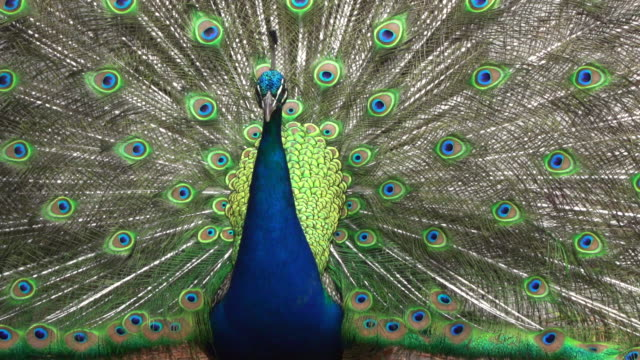 peacock displaying his bright plumage - peacock стоковые видео и кадры b-roll