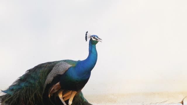 павлиньими перьями красивая птица. - peacock стоковые видео и кадры b-roll