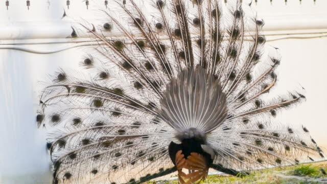 stockvideo's en b-roll-footage met peacock feathers beautiful bird. - vachtpatroon