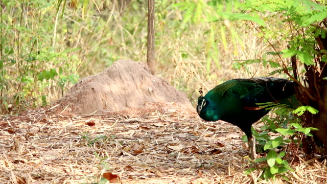 peacock in nature video