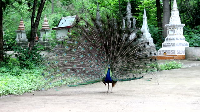 Peacock show the feather Lock down, 29.97 fps animal markings stock videos & royalty-free footage