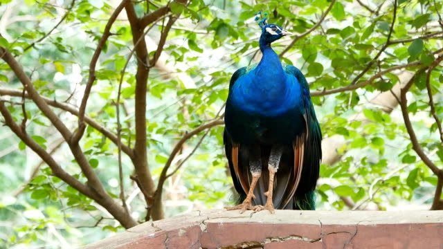 peacock standing and tree - peacock стоковые видео и кадры b-roll