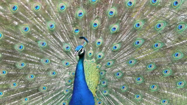 павлин? - peacock стоковые видео и кадры b-roll
