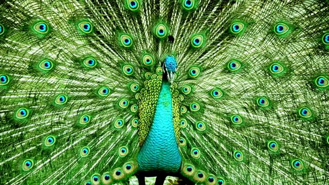 Peacock - Vidéo