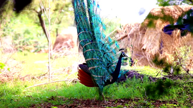 Peacock Peacock dancing outdoor in the nature. animal markings stock videos & royalty-free footage