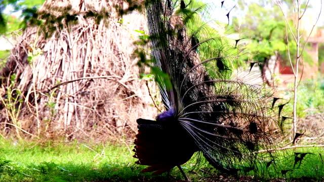 stockvideo's en b-roll-footage met peacock - vrouwtjesdier
