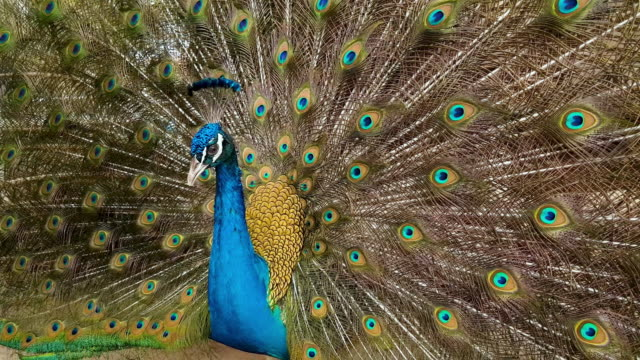 павлин - peacock стоковые видео и кадры b-roll