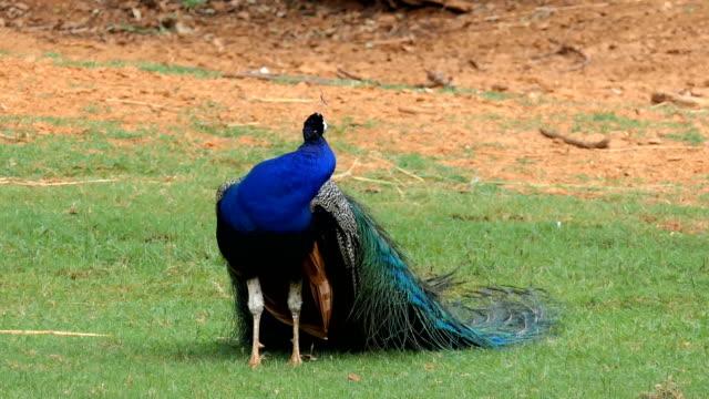 peacock - peacock стоковые видео и кадры b-roll