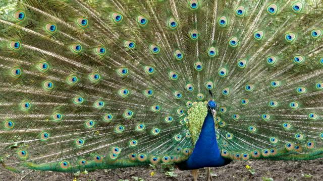 hd - peacock - majestatyczny filmów i materiałów b-roll