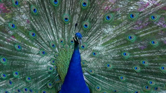 павлин ходьба держа перья открытыми - peacock стоковые видео и кадры b-roll