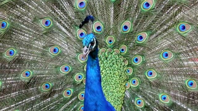 павлин с красивой отделкой перьями - peacock стоковые видео и кадры b-roll