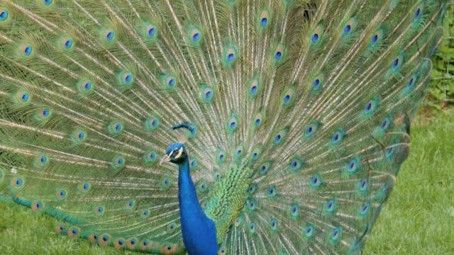 павлин с открытыми перьями - peacock стоковые видео и кадры b-roll