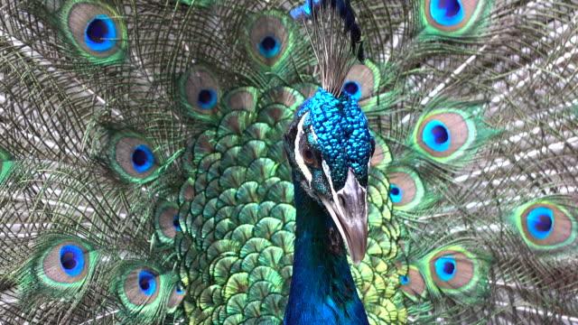 павлин с перьями от - peacock стоковые видео и кадры b-roll