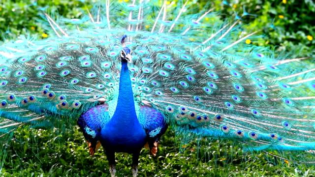 павлин с перьями - peacock стоковые видео и кадры b-roll