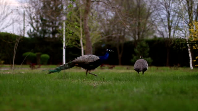stockvideo's en b-roll-footage met peacocks - vrouwtjesdier