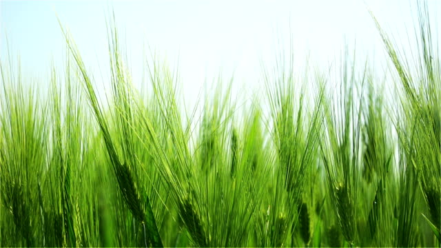 Peaks of the Green Barley Swaying in the Wind on a Sunny Day in the Morning video