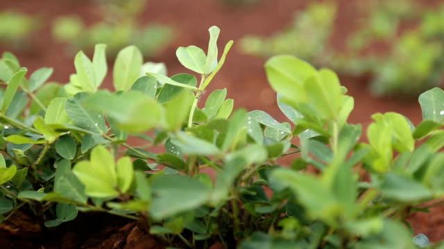 peanut plantation field video