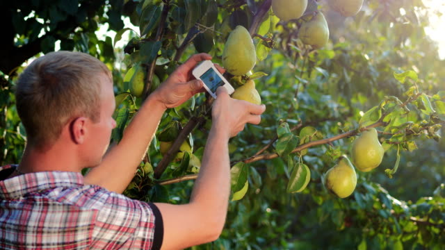 Pear Analysis For Nitrates And Radiation